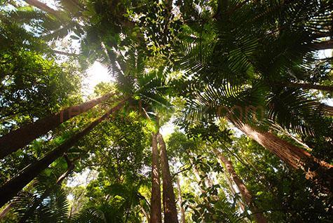 tropical rainforest;rain forest; rain forests;tropical rainforests;tropical rain forests;fraser island; queensland;australia;australian;palm;palms;forest;forests;tree;trees;tropical;tropics;tropic;foliage;trunk;trunks;environment;environmental;wilderness;canopy;canopies;tree canopy;looking up at;looking up at trees;looking up at tree canopy;trees looking up at;flora;grow;growth;growing;vegetation;leaf;leaves;green;greens;colour green;color green;nature;getaway;natural;outdoor;outdoors;plant;plants;+;and;&;