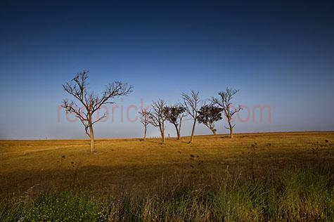 tree;trees;dead tree;dead trees;leaf;leaves;tree leaf;tree leaves;grass;dry grass;country;country setting;country settings;rural;rural setting;rural settings;landscape;landscapes;australia;australian;aus;australian country setting;australian country settings;sky;skies;blue sky;blue skies;clear sky;clear skies;clear blue sky;clear blue skies;fence;fences;paddock;paddocks;land;farmland;farm land;farm;farms;farming;agriculture;copyspace;copy space;textspace;text space;branch;branches;twig;twigs;hill;hills;hillside;nature;dry land;drought;droughts;daytime;day time;day;daylight;day light