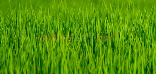 grass blades close-up close up profile green rice panorama panor