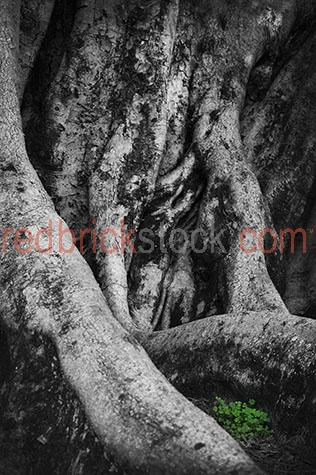tree;trees;tree trunk;tree trunks;trunk;trunks;forest;forests;rainforest;rainforests;rain forest;rain forests;tree bark;tree barks;bark;barks;texture;textures;textured;nature;fig tree;fig trees;root;roots;tree root;tree roots;clover;clovers;three leaf clover;three leaf clovers;3 leaf clover;3 leaf clovers;plant;plants;national park;national parks;protected area;protected areas;country;country setting;country settings;rural;rural area;rural areas;rural setting;rural settings;nature;dirt;dirts;black and white;black & white;black + white;b&w;b & w;b+w;b + w;monochrome;mono;australia;australian;aus;royalty free;rf;royalty free image;royalty free images;rf image;rf images;close-up;close-ups;close up;close ups;closeup;closeups;close-up view;close-up views;closeup view;closeup views;close-up views;close-up views;close up views;closeup views;copyspace;copy space;textspace;text space;at;on;in;and;&;+