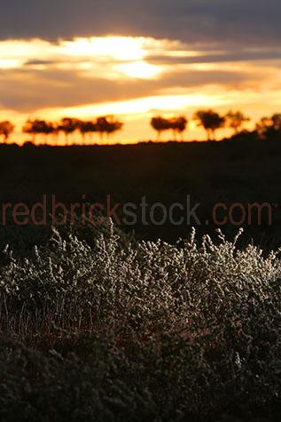 copperburr bush;copper-burr;bushes;bush;plant;plants;stock;stock feed;stockfeed;food;feeds;sunset;sunsets;sun set;sun sets;sunrise;sunrises;sun rise;sun rises;outback;rural;australia;australian;farm;farms;farming;farmland;farmlands;farm land;farm lands