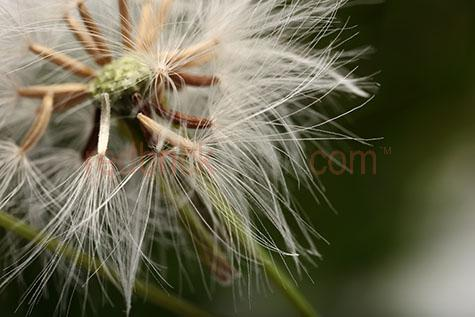 dandelion;dandelions;flower;flowers;close up;close-ups;close ups;close-up;selective focus;macro;nature;flora;seed;seeds;blossum;blossums;bloom;blooms;weed;weeds
