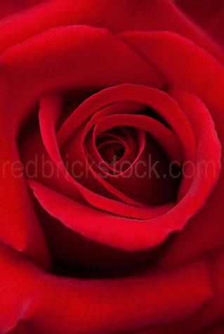 rose;roses;red rose;red roses;flower;flowers;red flower;red flowers;petal;petals;rose petal;rose petals;red rose petal;red rose petals;bloom;blooms;wedding;weddings;wedding flower;wedding flowers;anniversary;anniversaries;romance;romantic;romantic gift;romantic gifts;valentine;valentines;valentines day;close-up;close-ups;close up;close ups;closeup;closeups;close-up view;close-up views;closeup view;closeup views;close-up views;close-up view's;close up views;closeup views;background;backgrounds;back ground;back grounds;seductive;seduction