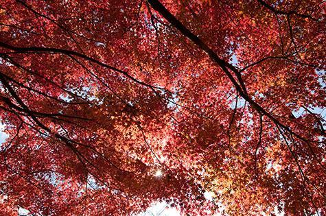 japanese maple leaf;japanese maple leaves;maple leaf;maple leaves;leaf;leaves;maple tree;maple trees;autumn;autumn leaves;red;reds;colour red;color red;branch;branches;tree branch;tree branches;nature;tree;trees;sun;sunny;sunlight;sun light;sunburst;sun burst;nison-in;honshu;japan;japon;nihon;nippon;inokashira koen;inokashira park;kichijoji;tokyo;inokashira onshi koen;inokashira imperial gift park;nerima-ku;close-up;close-ups;close up;close ups;closeup;closeups;close-up view;close-up views;closeup view;closeup views;close-up views;close-up view's;close up views;closeup views;travel;travels;travelling;traveling;tourist attraction;tourist attractions;tourist destination;tourist destinations;background;backgrounds;back ground;back grounds;日本;本州;�京都;県