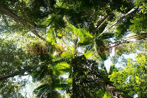 rainforest;rainforests;rain forest;rain forests;forest;forests;tropical rainforest;tropical rainforests;tropical rain forest;tropical rain forests;tropical forest;tropical forests;tree;trees;canopy;canopies;tree canopy;tree canopies;treetop;treetops;tree top;tree tops;palm tree;palm trees;palm;palms;plant;plants;plantation;plantations;tree plantation;tree plantations;greenery;looking up at;looking up at trees;looking up at tree canopy;looking up at tree canopies;from below;flora;grow;grows;growth;growing;vegetation;leaf;leaves;green leaf;green leaves;tree leaf;tree leaves;trunk;trunks;tree trunk;tree trunks;nature;tropical;tropic;tropics;australia;australian;aus;queensland;qld;fraser island;tourist attraction;tourist attractions;tourist destination;tourist destinations;australian tourist attraction;australian tourist attractions;australian tourist destination;australian tourist destinations;queensland tourist attraction;queensland tourist attractions;queensland tourist destination;queensland tourist destinations;qld tourist attraction;qld tourist attractions;qld tourist destination;qld tourist destinations;environment;environmental;wilderness;island;islands;tropical island;tropical islands;green;greens;colour green;color green;close-up;close-ups;close up;close ups;closeup;closeups;close-up view;close-up views;closeup view;closeup views;close-up views;close-up views;close up views;closeup views;copyspace;copy space;textspace;text space;+;and;&