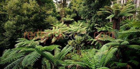 rainforest;rainforests;rain forest;rain forests;forest;forests;tree;trees;fern;ferns;plant;plants;greenery;tree top;tree tops;treetop;treetops;nature;tall tree;tall trees;green;greens;colour green;color green;australia;australian;aus;tasmania;tasmanian;tassie;tas;liffey falls;day;daytime;day time;during the day;daylight;day light;leaf;leaves;tree leaf;tree leaves;leafy;panorama;panoramas;panoramic;panoramics;pano;panos;flora;australian flora;background;backgrounds;back ground;back grounds;close-up;close-ups;close up;close ups;closeup;closeups;close-up view;close-up views;closeup view;closeup views;close-up views;close-up views;close up views;closeup views;copyspace;copy space;textspace;text space;copyspace;copy space;textspace;text space