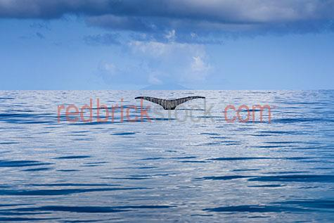 whale;whales;humpback whale;humpback whales;humpback;humpbacks;animal;animals;kingdom of tonga;tonga;tongan;sea animal;sea animals;sea creature;sea creatures;creature;creatures;tail;tails;whale tail;whale tails;swim;swims;swimming;whale swimming;whales swimming;maritime;marine;ocean;oceans;ocean water;ocean waters;sea;seas;sea water;sea waters;water;waters;blue water;waters surface;marine life;sea life;sealife;aquatic;seascape;seascapes;mammal;mammals;wild whale;wild whales;wild animal;wild animals;wild;in the wild;whale in the wild;whales in the wild;animal in the wild;animals in the wild;snorkel;snorkels;snorkeling;snorkelling;snorkeling with whales;snorkelling with whales;snorkeling with humpback whales;snorkelling with humpback whales;snorkeling with animals;snorkelling with animals;whale watching;tourist attraction;tourist attractions;tongan tourist attraction;tongan tourists attractions;endangered animal;endangered animals;endangered species;threatened animal;threatened animals;threatened specials;explore;explores;exploring;exploration;whale portrait;whale portraits;animal portrait;animal portraits;megaptera novaeangliae;wildlife;wild life;tongan wildlife;tongan wild life;wildlife photography;wild life photography;nature;natural habitat;natural habitats; wet;wet animal;wet animals;blue sky;blue skies;cloud;clouds;sky;skies;blue;blues;colour blue;color blue;day;daytime;day time;daylight;day light;during the day;reflection;reflections;water reflection;water reflections;glisten;glistens;glistening;glistening water;glistening river;glistening ocean;glistening ocean water;glistening sea;glistening sea water;close-up;close-ups;close up;close ups;closeup;closeups;close-up view;close-up views;closeup view;closeup views;close-up views;close-up views;close up views;closeup views;copyspace;copy space;textspace;text space;copyspace;copy space;textspace;text space