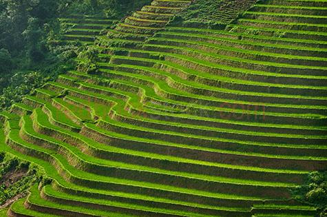vietnam;vietnamese;asia;asian;sapa;rice fileds;fice field;rice terrace;rice terraces;rice;rices;grain;grains;plantation;plantations;grass;green grass;green;green;colour green;color green;paddy field;paddy fields;paddy;paddies;paddys;row;rows;lush;field;fields;travel;travels;travelling;vietnam rice field;vietnam rice fields;fresh;mountain;mountains;hill;hills;hillside;hill side;agriculture;agricultural;farmland;farmlands;farm land;farm lands;crop;crops;rural;plant;plants