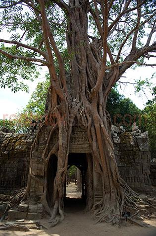 cambodia;asia;asian;siem reap;temples;temple;angkor wat;angkor thom;bayon temple;bayon temples;khmer;baobab tree;baobab trees;hindu;khmer architecture;architectural;city temple;city temples;city;cities;world heritage site;world heritage sites;ancient;historical;building;buildings;sandstone;oriental;overgrown;over grown;root;roots;plant;plants;structure;structures;ancient civilisation;ancient civilization;entrance;entry