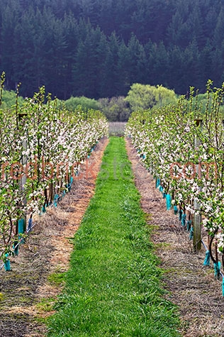 new zealand;nz;espalier;vineyard;vineyards;trellis;wine trellis;peach tree;peach trees;fruit tree;fruit tress;tree;trees;peach plant;peach plants;fruit plant;fruit plants;plant;plants;plantation;plantations;peach plantation;peach plantations;peach tree plantation;peach tree plantations;fruit plantation;fruit plantations;fruit tree plantation;fruit tree plantations;agriculture;agricultural;agriculture industry;agricultural industry;horticulture;horticultural;horticulture industry;horticultural industry;flower;flowers;flowering;peach tree flower;peach tree flowers;peach tree flowering;peach trees flowering;flowering peach tree;flowering peach trees;peach plant flower;peach plant flowers;peach plant flowering;peach plants flowering;flowering peach plant;flowering peach plants;grass;grasses;green grass;green grasses;fence;fences;fencing;farmland;farmlands;farm land;farm lands;farming property;farming properties;new zealand farm;new zealand farms;new zealand farming;nz farm;nz farms;nz farming;farm;farms;farming;farming industry;field;fields;meadow;meadows;country;countryside;country setting;country settings;rural;rural area;rural areas;rural setting;rural settings;crops;crops;row;rows;row of peach trees;rows of peach trees;row of peach plants;rows of peach plants;vine;vines;grow;grows;growing;growth;tourist attraction;tourist attractions;new zealand tourist attraction;new zealand tourist attractions;nz tourist attraction;nz tourist attractions;tourist destination;tourist destinations;new zealand tourist destination;new zealand tourist destinations;nz tourist destination;nz tourist destinations;tourism;tourism new zealand;new zealand tourism;tourism nz;nz tourism;travel;travels;traveling;overseas travel;over seas travel;overseas;over seas;travel;travel photography;day;daytime;day time;during the day;in the daytime;in the day time;daylight;day light;branch;branches;tree branch;tree branches;royalty free;rf;royalty free image;royalty free images;rf image;rf images;copyspace;copy space;textspace;text space;vertical;at;on;in;and;&;+
