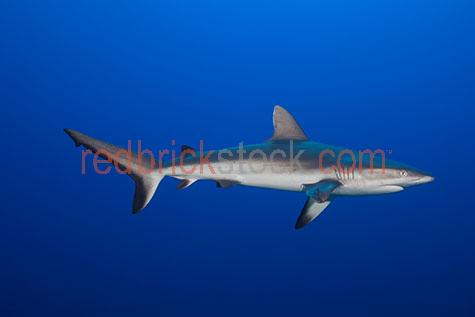 reef shark;reef sharks;grey reef shark;grey reef sharks;grey whaler shark;grey whaler sharks;shark;sharks;fish;fishes;predator;predators;underwater;under water;animal;animals;sea animal;sea animals;sea creature;sea creatures;creature;creatures;swim;swims;swimming;maritime;marine;ocean;oceans;ocean water;ocean waters;sea;seas;sea water;sea waters;water;waters;blue water;below the surface;marine life;sea life;sealife;aquatic;nature;natural habitat;natural habitats;wildlife;wild life;seascape;seascapes;portrait;portraits;portraiture;animal portrait;animal portraits;shark portrait;shark portraits;reef shark portrait;reef shark portraits;underwater photography;under water photography;wildlife photography;wild life photography;snorkel;snorkels;snorkeling;snorkelling;snorkeling with animals;snorkelling with animals;snorkeling with sharks;snorkelling with sharks;snorkeling with reef sharks;snorkelling with reef sharks;dive;dives;diving;scuba dive;scuba dives;scuba diving;scuba diving with animals;scuba diving with sharks;scuba diving with reef sharks;close encounter;close encounters;shark encounter;shark encounters;animal encounter;animal encounters;shark attack;shark attacks;cartilaginous fish;dangerous;danger;dangers;dangerous animal;dangerous animals;fear;fears;fearful;fearless;b&w;b & w;black&white;black and white;mono;monochrome;tourist attraction;tourist attractions;tourist destination;tourist destinations;australian tourist attraction;australian tourist attractions;australian tourist destination;australian tourist destinations;queensland tourist attraction;queensland tourist attractions;queensland tourist destination;queensland tourist destinations;qld tourist attraction;qld tourist attractions;qld tourist destination;qld tourist destinations;great barrier reef tourist attraction;great barrier reef tourist attractions;explore;explores;exploring;exploration;exploring underwater;exploring under water;australia;australian;aus;great barrier reef;lady elliot island;queensland;qld;north queensland;north qld;nth queensland;nth qld;great barrier reef;osprey reef;pacific ocean;coral sea;explore;explores;exploring;exploration;exploring underwater;exploring under water;fin;fins;shark fin;shark fins;gill;gills;shark gill;shark gills;eyes;shark eyes;animal eyes;close-up;close-ups;close up;close ups;closeup;closeups;close-up view;close-up views;closeup view;closeup views;close-up views;close-up views;close up views;closeup views;copyspace;copy space;textspace;text space