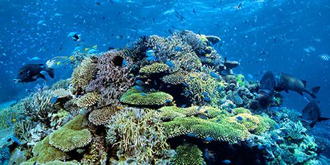 ribbon reef;great barrier reef;australia;queensland;challenger bay;bommie;coral reef;coral reefs;reef;reefs;marine;marine life;ocean;oceans;sea;seas;sea water;water;wet;coral;corals;animals;fish;fishes;crowds;marine parks;protected areas;protected area;scenic;underwater;under water;far north queensland;panoramic;panorama;panoramas;pano;panos;far nth qld;sealife;sea life;ocean life;ocean life;australian native animals;australian natives;australian animals;australian animal;sea creature;sea creatures;swim;swims;swimmin