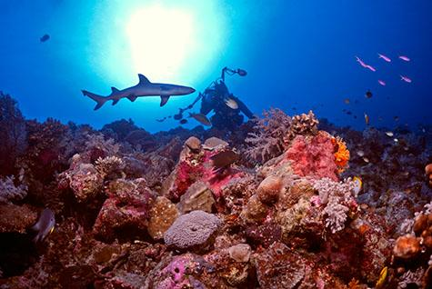 underwater;reef;reefs;coral;corals;Great Barrier Reef;Queensland;Osprey Reef;ocean;oceans;sea;underwater;diving;diver;divers;scuba;scuba diving;scuba divers;scuba diver;shark;sharks;reef shark;reef sharks;white tip reef shark;white tip shark;whitetip shark;whitetip reef shark;grey reef shark;grey reef sharks;aquatic;underwater photographer;underwater photography;shark feed;shark feeding;feeding sharks;marine;marine life;wildlife;sea life;marine environment;marine environments;North Horn;ecosystem;eco systems;adventure;adventurous;sport;sports;tourism;escapism;sea creatures;sea animals;marine life;fish;wildlife;marine species;one diver;nature;seascape;seascapes;travel;australia;australian;danger;dangerous