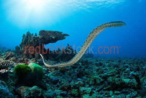 sea snake;sea snakes;olive sea snake;olive sea snakes;snake;snakes;olive snake;olive snakes;golden sea snake;golden sea snakes;golden snake;golden snakes;underwater;under water;animal;animals;sea animal;sea animals;sea creature;sea creatures;creature;creatures;swim;swims;swimming;maritime;marine;ocean;oceans;ocean water;ocean waters;sea;seas;sea water;sea waters;water;waters;blue water;waters surface;below the surface;marine life;sea life;sealife;aquatic;nature;natural habitat;natural habitats;wildlife;wild life;seascape;seascapes;portrait;portraits;portraiture;animal portrait;animal portraits;snake portrait;snake portraits;underwater photography;under water photography;wildlife photography;wild life photography;coral;corals;hard coral;hard corals;coral reef;coral reefs;reef;reefs;snorkel;snorkels;snorkeling;snorkelling;snorkeling with animals;snorkelling with animals;dive;dives;diving;scuba dive;scuba dives;scuba diving;scuba diving with animals;tourist attraction;tourist attractions;tourist destination;tourist destinations;australian tourist attraction;australian tourist attractions;australian tourist destination;australian tourist destinations;queensland tourist attraction;queensland tourist attractions;queensland tourist destination;queensland tourist destinations;qld tourist attraction;qld tourist attractions;qld tourist destination;qld tourist destinations;great barrier reef tourist attraction;great barrier reef tourist attractions;australia;australian;aus;queensland;qld;north queensland;north qld;nth queensland;nth qld;great barrier reef;coral sea;swains reef;reptile;reptiles;australian reptile;australian reptiles;aipysurus laevis;poisonous;poison;poisons;venomous;venom;venoms;sun;bright sun;sunshine;sun shine;sunlight;sun light;sunburst;sun burst;sunray;sunrays;sun ray;sun rays;ray of light;rays of light;sunbeam;sunbeams;sun beam;sun beams;close-up;close-ups;close up;close ups;closeup;closeups;close-up view;close-up views;closeup view;closeup views;close-up views;close-up views;close up views;closeup views;copyspace;copy space;textspace;text space