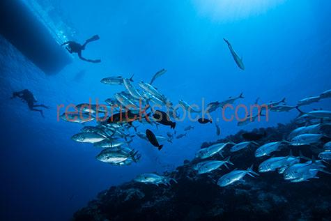 fish;fishes;school of fish;schools of fish;fish school;fish schools;school;schools;underwater;under water;animal;animals;sea animal;sea animals;sea creature;sea creatures;creature;creatures;swim;swims;swimming;maritime;marine;ocean;oceans;ocean water;ocean waters;sea;seas;sea water;sea waters;water;waters;blue water;waters surface;below the surface;marine life;sea life;sealife;aquatic;nature;natural habitat;natural habitats;wildlife;wild life;seascape;seascapes;portrait;portraits;portraiture;animal portrait;animal portraits;fish portrait;fish portraits;underwater photography;under water photography;wildlife photography;wild life photography;scuba dive;scuba dives;scuba diving;scuba diving with animals;dive;dives;diving;explore;explores;exploring;exploration;exploring underwater;exploring under water;scuba diver;scuba divers;diver;divers;person;people;silhouette;silhouettes;silhouetted;in silhouette;scuba diver silhouette;scuba diver silhouettes;silhouetted scuba diver;silhouetted scuba divers;scuba diver in silhouette;scuba divers in silhouette;person silhouette;person silhouettes;people silhouette;people silhouettes;silhouetted person;silhouetted people;person in silhouette;people in silhouette;boat;boats;charter boat;charter boats;charter;charters;scuba diving charter;scuba diving charters;scuba diving charter boat;scuba diving charter boats;crowd;crowds;crowded;explore;explores;exploring;exploration;exploring underwater;exploring under water;tourist;tourists;tourist attraction;tourist attractions;tourist destination;tourist destinations;australian tourist attraction;australian tourist attractions;australian tourist destination;australian tourist destinations;queensland tourist attraction;queensland tourist attractions;queensland tourist destination;queensland tourist destinations;qld tourist attraction;qld tourist attractions;qld tourist destination;qld tourist destinations;great barrier reef tourist attraction;great barrier reef tourist attractions;australia;australian;aus;queensland;qld;north queensland;north qld;nth queensland;nth qld;great barrier reef;coral sea;coral;corals;hard coral;hard corals;coral reef;coral reefs;reef;reefs;blue;blues;colour blue;color blue;close-up;close-ups;close up;close ups;closeup;closeups;close-up view;close-up views;closeup view;closeup views;close-up views;close-up views;close up views;closeup views;copyspace;copy space;textspace;text space