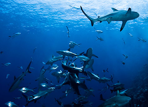 shark;sharks;grey reef shark;grey reef sharks;sharks feeding;sharkfeed;queensland;australia;north queensland;qld;great barrier reef;osprey reef;fish;trevally;bait;baited;baits;frenzy;feeding frenzy;aquatic;underwater environments;underwater;water;wildlife;nature;marine;sea creature;sea creatures;marine life;marine species;carnivore;carnivores;carnivorous;tourism;diving;danger;dangerous;colour blue;color blue;north horn;reef;reefs;adventure;adventures;exhilarating;exhilarated;exiting;exited;thrill;thrilled;danger;dangerous;savage;ferocious;blue;blues;colour blue;color blue;nature;natural habitat;natural habitat