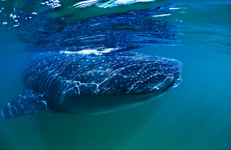 whale shark;rhincodontidae;rhincodon;Isla Holbox Yucatan Mexico;shark;sharks;tropics;tropical;tropical species;on surface;near surface;surfacing;aquatic;underwater environments;underwater;water;marine;sea creature;sea creatures;marine life;wildlife;nature;sea life;marine species;carnivore;carnivores;carnivorous;tourism;osprey reef;diving;danger;dangerous;colour blue;color blue;reef;reefs;isla holbox;yucatan;mexico;adventure;adventures;tourism;unique;reflection;reflections;swimming;animals eyes;fish;plankton;plankton feeding;day;daytime;one whale shark;one shark;underwater photography;close-up;close-ups;close up;close ups