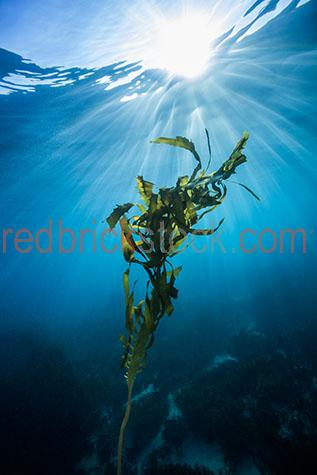 seaweed;seaweeds;sea weed;sea weeds;kelp;seaweed kelp;sea weed kelp;kelp seaweed;kelp sea weed;maritime;marine;ocean;oceans;ocean water;ocean waters;sea;seas;sea water;sea waters;water;waters;blue water;waters surface;below the surface;marine life;sea life;sealife;aquatic;nature;natural habitat;natural habitats;wildlife;wild life;seascape;seascapes;underwater photography;under water photography;wildlife photography;wild life photography;snorkel;snorkels;snorkeling;snorkelling;algae;diamond bay;victoria;victorian;vic;australia;australian;aus;tourist attraction;tourist attractions;tourist destination;tourist destinations;australian tourist attraction;australian tourist attractions;australian tourist destination;australian tourist destinations;victorian tourist attraction;victorian tourist attractions;victorian tourist destination;victorian tourist destinations;vic tourist attraction;vic tourist attractions;vic tourist destination;vic tourist destinations;explore;explores;exploring;exploration;exploring underwater;exploring under water;coral;corals;hard coral;hard corals;reef;reefs;coral reef;coral reefs;ocean floor;ocean floors;sun;sunlight;sun light;sunshine;sun shine;sun;bright sun;sunburst;sun burst;sunray;sunrays;sun ray;sun rays;ray of light;rays of light;sunbeam;sunbeams;sun beam;sun beams;reflection;reflections;water reflection;water reflections;close-up;close-ups;close up;close ups;closeup;closeups;close-up view;close-up views;closeup view;closeup views;close-up views;close-up views;close up views;closeup views;copyspace;copy space;textspace;text space