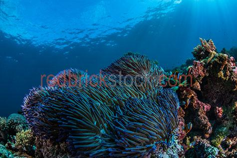 coral;corals;soft coral;soft corals;hard coral;hard corals;coral reef;coral reefs;reef;reefs;nature;maritime;marine;ocean;oceans;ocean water;ocean waters;sea;seas;sea water;sea waters;water;waters;blue water;waters surface;below the surface;marine life;sea life;sealife;aquatic;natural habitat;natural habitats;wildlife;wild life;swim;swims;swimming;fish;fishes;anemone;anemones;anemone fish;anemone fishes;clownfish;clownfishes;clown fish;clown fishes;underwater;under water;underwater photography;under water photography;animal;animals;sea animal;sea animals;sea creature;sea creatures;creature;creatures;seascape;seascapes;shallow;shallow water;snorkel;snorkels;snorkeling;snorkelling;colourful;colorful;colourful coral;colorful coral;colourful corals;colorful corals;colourful coral reef;colorful coral reef;colourful coral reefs;colorful coral reefs;tourist attraction;tourist attractions;tourist destination;tourist destinations;australian tourist attraction;australian tourist attractions;australian tourist destination;australian tourist destinations;queensland tourist attraction;queensland tourist attractions;queensland tourist destination;queensland tourist destinations;qld tourist attraction;qld tourist attractions;qld tourist destination;qld tourist destinations;great barrier reef tourist attraction;great barrier reef tourist attractions;australia;australian;aus;queensland;qld;north queensland;north qld;nth queensland;nth qld;pacific ocean;great barrier reef;swains reef;sunlight;sun light;sunray;sunrays;sun ray;sun rays;ray of light;rays of light;sunbeam;sunbeams;sun beam;sun beams;explore;explores;exploring;exploration;exploring underwater;exploring under water;close-up;close-ups;close up;close ups;closeup;closeups;close-up view;close-up views;closeup view;closeup views;close-up views;close-up views;close up views;closeup views;copyspace;copy space;textspace;text space