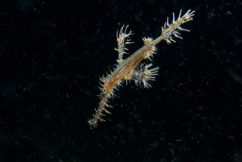 hairy ghost pipe fish;pipefish;ornate ghost pipefish;ornate ghost pipe fish;fish;fishes;papua new guinea;png;solenostomus paradoxus;syngnathidae;tawali;ocean;oceans;sea;seas;sea water;water;wet;wildlife;marine life;marine;exotic;bizarre;marine species;marine life;sea horse;sea horses;seahorse;seahorses;nature;natural habitat;natural habitats;wildlife;underwater;underwater photography;under water;diving;dive;dives;scuba diving;majestic;creature;creatures;sea creature;sea creatures;animal;animals;strange animal;strange animals;macro;close up;close-ups;close ups;swim;swims;swimming