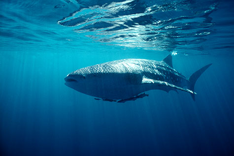 whale shark;whale sharks;shark;sharks;fish;fishes;indian ocean;australia;western australia;australian;aus;western australia;wa;ningaloo reef;ningaloo marine park;rhincodon typus;coast;coasts;coastal;coral reef;coral reefs;marine;ocean;oceans;sea;seas;sea water;water;wet;animals;animal;blue;blues;colour blue;color blue;endangered species;endangered animal;endangered animals;marine parks;protected areas;endangered species;endangered animals;sunlight;sun light;threatened species;threatened animal;threatened animals;underwater;underwater photography;under water;under water photography;light;cartilaginous fish;copyspace;copy space;textspace;text space;close up;close ups;close up's;close up view;close up views;close up view's;swim;swims;swimming;nature;natural habitat;natural habitats;danger;dangerous