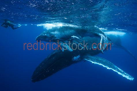 whale;whales;humpback whale;humpback whales;humpback;humpbacks;underwater;under water;animal;animals;sea animal;sea animals;sea creature;sea creatures;creature;creatures;swim;swims;swimming;maritime;marine;ocean;oceans;ocean water;ocean waters;sea;seas;sea water;sea waters;water;waters;blue water;waters surface;below the surface;marine life;sea life;sealife;aquatic;nature;natural habitat;natural habitats;wildlife;wild life;seascape;seascapes;mammal;mammals;portrait;portraits;portraiture;animal portrait;animal portraits;whale portrait;whale portraits;humpback whale portrait;humpback whale portraits;sunlight;sun light;underwater photography;under water photography;wildlife photography;wild life photography;snorkel;snorkels;snorkeling;snorkelling;snorkeling with whales;snorkelling with whales;snorkeling with humpback whales;snorkelling with humpback whales;snorkeling with animals;snorkelling with animals;scuba dive;scuba dives;scuba diving;scuba diving with whales;scuba diving with humpback whales;dive;dives;diving;tourist attraction;tourist attractions;endangered species;endangered animals;threatened species;threatened animals;explore;explores;exploring;exploration;exploring underwater;exploring under water;kingdom of tonga;tonga;megaptera novaeangliae;megaptera;protect;protects;protecting;protection;calf;calves;baby;babies;baby whale;baby whales;baby animal;baby animals;mother and child;mother & child;mother;mothers;mum;mums;mom;moms;motherhood;parent;parents;parenting;parenthood;child;children;breed;breeds;breeding;breeding season;whale breeding;whale breeding season;intimate;intimacy;blue;blues;colour blue;color blue;reflection;reflections;water reflection;water reflections;play;plays;playing;playful;fish;fishes;person;people;snorkeler;snorkelers;snorkeller;snorkellers;close-up;close-ups;close up;close ups;closeup;closeups;close-up view;close-up views;closeup view;closeup views;close-up views;close-up views;close up views;closeup views;copyspace;copy space;textspac