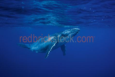 whale;whales;humpback whale;humpback whales;humpback;humpbacks;underwater;under water;animal;animals;sea animal;sea animals;sea creature;sea creatures;creature;creatures;swim;swims;swimming;maritime;marine;ocean;oceans;ocean water;ocean waters;sea;seas;sea water;sea waters;water;waters;blue water;waters surface;below the surface;marine life;sea life;sealife;aquatic;nature;natural habitat;natural habitats;wildlife;wild life;seascape;seascapes;mammal;mammals;animal portrait;animal portraits;whale portrait;whale portraits;humpback whale portrait;humpback whale portraits;underwater photography;under water photography;wildlife photography;wild life photography;snorkel;snorkels;snorkeling;snorkelling;snorkeling with whales;snorkelling with whales;snorkeling with humpback whales;snorkelling with humpback whales;snorkeling with animals;snorkelling with animals;scuba dive;scuba dives;scuba diving;scuba diving with whales;scuba diving with humpback whales;dive;dives;diving;tourist attraction;tourist attractions;endangered species;endangered animals;threatened species;threatened animals;explore;explores;exploring;exploration;exploring underwater;exploring under water;kingdom of tonga;tonga;megaptera novaeangliae;megaptera;calf;calves;baby;babies;baby whale;baby whales;baby animal;baby animals;child;children;breed;breeds;breeding;breeding season;whale breeding;whale breeding season;reflection;reflections;water reflection;water reflections;close-up;close-ups;close up;close ups;closeup;closeups;close-up view;close-up views;closeup view;closeup views;close-up views;close-up views;close up views;closeup views;copyspace;copy space;textspace;text space