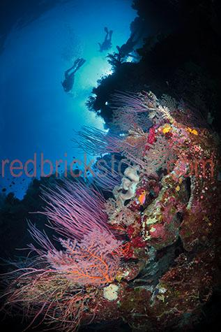scuba dive;scuba dives;scuba diving;scuba diver;scuba divers;dive;dives;diving;diver;divers;underwater;under water;reef;reefs;coral reef;coral reefs;coral;corals;hard coral;hard corals;gorgonian fan;gorgonian fans;fan coral;fan corals;fan;fans;maritime;marine;ocean;oceans;ocean water;ocean waters;sea;seas;sea water;sea waters;water;waters;blue water;waters surface;below the surface;marine life;sea life;sealife;aquatic;nature;seascape;seascapes;swim;swims;swimming;man;men;guy;guys;boy;boys;male;males;person;people;man scuba diving;men scuba diving;guy scuba diving;guys scuba diving;boy scuba diving;boys scuba diving;male scuba diving;males scuba diving;person scuba diving;people scuba diving;male scuba diver;male scuba divers;underwater photography;under water photography;tourist;tourists;tourist attraction;tourist attractions;tourist destination;tourist destinations;australian tourist attraction;australian tourist attractions;australian tourist destination;australian tourist destinations;queensland tourist attraction;queensland tourist attractions;queensland tourist destination;queensland tourist destinations;qld tourist attraction;qld tourist attractions;qld tourist destination;qld tourist destinations;great barrier reef tourist attraction;great barrier reef tourist attractions;great barrier reef tourist destination;great barrier reef tourist destinations;australia;australian;aus;queensland;qld;north queensland;north qld;nth queensland;nth qld;great barrier reef;osprey reef;coral sea;explore;explores;exploring;exploration;exploring underwater;exploring under water;bubble;bubbles;air bubble;air bubbles;flipper;flippers;wetsuit;wetsuits;close-up;close-ups;close up;close ups;closeup;closeups;close-up view;close-up views;closeup view;closeup views;close-up views;close-up views;close up views;closeup views;copyspace;copy space;textspace;text space