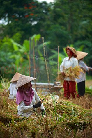 rice;rices;rice growing;rice growing in field;rice farming;rice grass;grain;grains;bali;balinese;indonesia;indonesian;ubud;harvest;green grass;grasses;shoots;asia;south east asia;asian;crop;crops;cropping;crops;harvesting;rice harvest;harvests;farm;farms;farming;farming industry;farming industries;agriculture;agricultural;plant;plants;plantation;plantations;farmland;farmlands;farm land;farm lands;rural;plantation;plantations;paddy;paddys;paddies;farmer;farmers;villager;villagers;work;works;working;worker;workers;labour;labourer;labor;laborer;woman;women;man;men;group;groups;conical hat;conical hats;bolo;bolos;bolo knife;bolo knives;tool;tools