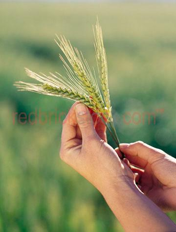 wheat grain grains food agriculture farm farming crop crops crop