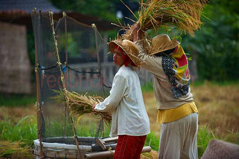 rice;rices;rice growing;rice growing in field;rice farming;rice grass;grain;grains;bali;balinese;indonesia;indonesian;ubud;harvest;green grass;grasses;shoots;asia;south east asia;asian;crop;crops;cropping;crops;harvesting;rice harvest;harvests;farm;farms;farming;farming industry;farming industries;agriculture;agricultural;plant;plants;plantation;plantations;farmland;farmlands;farm land;farm lands;rural;plantation;plantations;paddy;paddys;paddies;farmer;farmers;villager;villagers;work;works;working;worker;workers;labour;labourer;labor;laborer;woman;women;group;groups;people;person;straw hat;straw hats;two people;pair;2;thresh;threshing;threshing rice