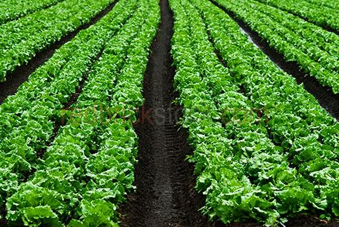 lettuce;lettuces;crop;crops;cropping;harvest;harvests;harvesting;produce;fresh produce;farm;farms;farming;farmer;farmers;farming industry;farming industries;vegetable farming;commercial farming;cultivating;cultivate;cultivation;organic;plant;plants;grow;growing;grows;field;fields;fresh vegetable;fresh vegetables;irrigation;irrigation systems;horticulture;vegetable;vegetables;background;backgrounds;green;greens;colour green;color green;plant;plants;soil;soils;agriculture;agricultural