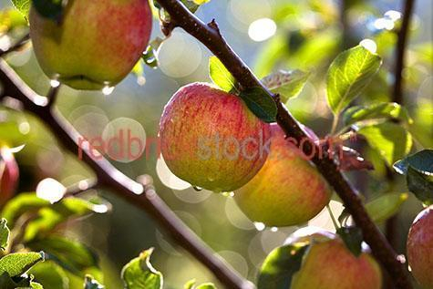 orchard;orchards;crop;crops;cropping;harvest;harvests;harvesting;produce;fresh produce;farm;farms;farming;farmer;farmers;farming industry;farming industries;fruit farm;fruit farms;commercial farming;plant;plants;industry;grow;growing;grows;fresh produce;ripe;ripen;ripening;apple;apples;fruit;fruits