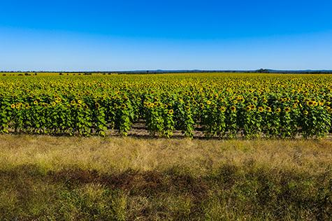 flower;flowers;sunflower;sunflowers;sun flower;sun flowers;sunflower crop;sunflower crops;sun flower crop;sun flower crops;crop;crops;cropping;sunflower field;sunflower fields;sun flower field;sun flower fields;field;fields;flower field;flower fields;agriculture;agricultural;agricultural industry;farm;farms;farming;sunflower farm;sunflower farms;sun flower farm;sun flower farms;helianthus annuus;big sunflower;big sunflowers;big sun flower;big sun flowers;tall sunflower;tall sunflowers;tall sun flower;tall sun flowers;tall plant;tall plants;sunflower plant;sunflower plants;sun flower plant;sun flower plants;plant;plants;plantation;plantations;sunflower plantation;sunflower plantations;sun flower plantation;sun flower plantations;ready for harvest;harvesting;harvest;harvests;blue sky;blue skies;clear blue sky;clear blue skies;clear sky;clear skies;vibrant;stem;stems;flower stem;flower stems;sunflower stem;sunflower stems;sun flower stem;sun flower stems;sunshine;sun shine;sunny day;sunny;day time;daytime;daylight;day light;radiant;grow;grows;growing;growth;copyspace;copy space;textspace;text space;hill;hills;hilly;mountain;mountains;mountain range;mountain ranges;queensland;qld;north queensland;north qld;nth queensland;nth qld;australia;australian;aus