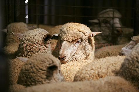 sheep; sheeps; animal; animals; ovine; ovines; ovine industry; wool; wooly; woolly; woolley; fleece; fleeces;livestock; live stock; stock;sheep industry; sheep farming industry; farming industry; farm animal; farm animals; farm; farms; farming; sheep farming; australian farm; australian farms; australian sheep farming; australian sheep farming industry; australian farming; australian farming industry; australian ovine industry; farming property; farming properties;on farm; on the farm; sheep on farm; sheep on the farm; at farm; at the farm; sheep at farm; sheep at the farm; sheep farmer; sheep farmers; farmer; farmers; food chain; food chains;country; country setting; country settings; australian country; rural; rural area; rural areas; rural setting; rural settings; rural australia;regional; regional australia;shear; shears; shearing; shearing sheep; shearer; shearers; shearing shed; shearing sheds; shed; sheds; farming shed; farming sheds; shed; sheds; farm shed; farm sheds; farming shed; farming sheds; ewe; ewes; sheep portrait; sheep portraits; animal portrait; animal portraits;mark; marks; marking; markings; sheep marking; sheep markings; tag; tags; tagged; tagging; sheep tag: sheep tags; tagged sheep; tagging sheep; sheep tagging; crowd; crowds; crowded; crowding; frantic; looking at camera; looking at the camera; animal photography; agriculture; agricultural; agriculture industry; agricultural industry; australian agriculture industry; australian agricultural industry; head; heads; sheep head; sheep heads; animal head; animal heads; face; faces; sheep face; sheep faces; animal face; animal faces; outback; out back; outback australia; out back australia; australian outback; australian out back; day; daytime; day time; during the day; in the daytime; in the day time; daylight; day light; australia; australian; aus; royalty free; rf; royalty free image; royalty free images; rf image; rf images; close-up; close-ups; close up; close ups; closeup; closeups; close-u