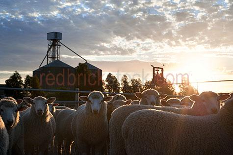 sheep;sheeps;livestock;live stock;livestock sale yards;live stock sale yards;livestock saleyards;live stock saleyards;sale yards;saleyards;sheep yard;sheep yards;sheep pen;sheep pens;sheep sale;sheep sales;silo;silos;grain silo;grain silos;wheat silo;wheat silos;industrial silo;industrial silos;agricultural silo;agricultural silos;crowded yards;crowded sheep yards;crowded sheep pen;crowded sheep pens;crowd;crowds;crowded;agriculture;agricultural;farm;farms;farming;farm animal;farm animals;animal;animals;wool;wooly;woolly;woolley;fleece;fleeces;ovine;rural;mammal;mammals;ewe;ewes;flock;flocks;group;groups;distressed;distressed animal;distressed animals;animal cruelty;cruelty to animals;fence;fences;gate;gates;sunset;sunsets;sun set;sun sets;sunsetting;sun setting;sunrise;sunrises;sun rise;sun rises;sunrising;sun rising;dramatic sky;dramatic skies;sun;sunburst;sun burst;sunray;sunrays;sun ray;sun rays;ray of light;rays of light;sunbeam;sunbeams;sun beam;sun beams;country;country setting;country settings;backlighting;back lighting;backlit;back lit;warm tones;cloud;clouds;scattered cloud;scattered clouds;agriculture industry;agricultural industry;food chain;food chains;hamilton;wool capitol of australia;south west victoria;southern grampians;southern grampians shire;hamilton saleyards;hamilton sale yards;victoria;vic;australia;australian;aus;close-up;close-ups;close up;close ups;closeup;closeups;close-up view;close-up views;closeup view;closeup views;close-up views;close-up view's;close up views;closeup views;stare;stares;staring