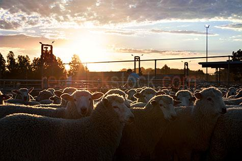 sheep;sheeps;livestock;live stock;livestock sale yards;live stock sale yards;livestock saleyards;live stock saleyards;sale yards;saleyards;sheep yard;sheep yards;sheep pen;sheep pens;sheep sale;sheep sales;silo;silos;grain silo;grain silos;wheat silo;wheat silos;industrial silo;industrial silos;agricultural silo;agricultural silos;truck;trucks;livestock truck;live stock truck;livestock trucks;live stock trucks;livestock transport;live stock transport;livestock transportation;live stock transportation;semi trailor;semi trailors;semi trailer;semi trailers;semi trailor truck;semi trailor trucks;semi trailer truck;semi trailer trucks;load;loads;loading;loaded;loading truck;loading trucks;loading livestock truck;loading live stock truck;loading bay;loading bays;livestock loading bay;live stock loading bay;crowded yards;crowded sheep yards;crowded sheep pen;crowded sheep pens;crowd;crowds;crowded;agriculture;agricultural;farm;farms;farming;farm animal;farm animals;animal;animals;wool;wooly;woolly;woolley;fleece;fleeces;ovine;rural;mammal;mammals;ewe;ewes;flock;flocks;group;groups;distressed;distressed animal;distressed animals;animal cruelty;cruelty to animals;fence;fences;gate;gates;sunset;sunsets;sun set;sun sets;sunsetting;sun setting;sunrise;sunrises;sun rise;sun rises;sunrising;sun rising;dramatic sky;dramatic skies;sun;sunburst;sun burst;sunray;sunrays;sun ray;sun rays;ray of light;rays of light;sunbeam;sunbeams;sun beam;sun beams;country;country setting;country settings;backlighting;back lighting;backlit;back lit;warm tones;cloud;clouds;scattered cloud;scattered clouds;agriculture industry;agricultural industry;food chain;food chains;hamilton;wool capitol of australia;south west victoria;southern grampians;southern grampians shire;hamilton saleyards;hamilton sale yards;victoria;vic;australia;australian;aus;farmer;farmers;worker;workers;stock agent;stock agents;buyer;buyers;livestock buyer;live stock buyer;drover;drovers;sheep drover;sheep drovers