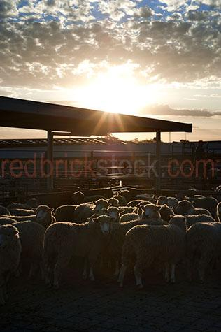 sheep;sheeps;livestock;live stock;livestock sale yards;live stock sale yards;livestock saleyards;live stock saleyards;sale yards;saleyards;sheep yard;sheep yards;sheep pen;sheep pens;sheep sale;sheep sales;crowded yards;crowded sheep yards;crowded sheep pen;crowded sheep pens;crowd;crowds;crowded;agriculture;agricultural;farm;farms;farming;farm animal;farm animals;animal;animals;wool;wooly;woolly;woolley;fleece;fleeces;ovine;rural;mammal;mammals;ewe;ewes;flock;flocks;group;groups;distressed;distressed animal;distressed animals;animal cruelty;cruelty to animals;fence;fences;gate;gates;sunset;sunsets;sun set;sun sets;sunsetting;sun setting;sunrise;sunrises;sun rise;sun rises;sunrising;sun rising;dramatic sky;dramatic skies;sun;sunburst;sun burst;sunray;sunrays;sun ray;sun rays;ray of light;rays of light;sunbeam;sunbeams;sun beam;sun beams;country;country setting;country settings;backlighting;back lighting;backlit;back lit;warm tones;cloud;clouds;scattered cloud;scattered clouds;agriculture industry;agricultural industry;food chain;food chains;hamilton;wool capitol of australia;south west victoria;southern grampians;southern grampians shire;hamilton saleyards;hamilton sale yards;victoria;vic;australia;australian;aus;farmer;farmers;worker;workers;stock agent;stock agents;buyer;buyers;livestock buyer;live stock buyer;drover;drovers;sheep drover;sheep drovers;copyspace;copy space;textspace;text space