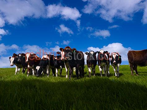 cow;cows;cattle;animal;animals;bovine;bovines;bovine industry;livestock;live stock;stock;cattle industry;farming industry;cattle farming industry;graze;grazes;grazing;cow grazing;cows grazing;cattle grazing;eating grass;cow eating grass;cows eating grass;cattle eating grass;herd;herds;herding;cattle herd;cattle herds;herding cows;herding cattle;import;imports;importing;livestock import;livestock imports;importing livestock;live stock import;live stock imports;importing live stock;export;exports;exporting;livestock export;livestock exports;exporting livestock;live stock export;live stock exports;exporting livestock;cattle farmer;cattle farmers;beef cattle farmer;beef cattle farmers;farmer;farmers;dairy farmer;dairy farmers;farm animal;farm animals;farm;farms;farming;cattle farming;australian farm;australian farms;australian farming;australian farming industry;australian cattle farming;australian cattle farming industry;australian bovine industry;farm land;farm lands;farming property;farming properties;on farm;on the farm;cow on farm;cows on farm;cattle on farm;cow on the farm;cows on the farm;cattle on the farm;animal on farm;animals on farm;animal on the farm;animals on the farm;at farm;at the farm;cow at farm;cows at farm;cattle at farm;cow at the farm;cows at the farm;cattle at the farm;animal at farm;animals at farm;animal at the farm;animals at the farm;paddock;paddocks;cow paddock;cow paddocks;cattle paddock;cattle paddocks;farm paddock;farm paddocks;farming paddock;farming paddocks;cattle yard;cattle yards;yard;yards;cow feed;cow feeding;cattle feed;cattle feeding;feed;feeds;feeding;cow portrait;cow portraits;cattle portrait;cattle portraits;animal portrait;animal portraits;ear tag;ear tags;ear tagging;cow ear tag;cow ear tags;cow ear tagging;cattle ear tag;cattle ear tags;cattle ear tagging;tag;tags;tagging;mark;marks;marking;markings;cow marking;cow markings;cattle marking;cattle markings;dairy cow;dairy cows;dairy cattle;dairy industry;dairy farm;dairy farm