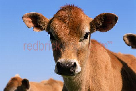 cow; cows; cattle; animal; animals; dairy cow; dairy cows; dairy cattle; dairy industry; dairy farm; dairy farms; dairy farming; dairy farming industry; dairy; dairies; milk cow; milk cows; milk cattle;bovine; bovines; bovine industry; livestock; live stock; stock;cattle industry; bovine industry; farming industry; cattle farming industry; food chain; food chains;cattle farmer; cattle farmers; beef cattle farmer; beef cattle farmers; farmer; farmers; dairy farmer; dairy farmers; farm animal; farm animals; farm; farms; farming; cattle farming;australian farm; australian farms; australian farming; australian farming industry; australian cattle farming; australian cattle farming industry; australian bovine industry; on farm; on the farm; cow on farm; cows on farm; cattle on farm; cow on the farm; cows on the farm; cattle on the farm; animal on farm; animals on farm; animal on the farm; animals on the farm; at farm;at the farm; cow at farm; cows at farm; cattle at farm; cow at the farm; cows at the farm; cattle at the farm; animal at farm; animals at farm; animal at the farm; animals at the farm; country; country setting; country settings; australian country; rural; rural area; rural areas; rural setting; rural settings; rural australia;regional; regional australia;import; imports; importing; livestock import; livestock imports; importing livestock; live stock import; live stock imports; importing live stock; export; exports; exporting; livestock export; livestock exports; exporting livestock; live stock export; live stock exports; exporting livestock; cow portrait; cow portraits; cattle portrait; cattle portraits; animal portrait; animal portraits; agriculture; agricultural; agriculture industry; australian agriculture industry; agricultural industry; australian agricultural industry; australian animal; australian animals; animal photography; sky; skies; blue sky; blue skies; clear sky; clear skies; clear blue sky; clear blue skies; against blue sky; against clear blue