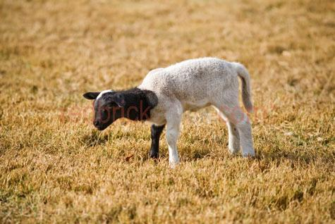 sheep; sheeps; animal; animals; lamb; lambs; baby sheep; baby animal; baby animals; baby; babies; cute; lambing; lambing season; lambing seasons;australian animal; australian animals; ovine; ovines; ovine industry; wool; wooly; woolly; woolley; fleece; fleeces;livestock; live stock; stock;sheep industry; sheep farming industry; farming industry; farm animal; farm animals; farm; farms; farming; sheep farming; australian farm; australian farms; australian sheep farming; australian sheep farming industry; australian farming; australian farming industry; australian ovine industry; graze; grazes; grazing; sheep grazing; eating grass; sheep eating grass; pasture; pastures; paddock; paddocks; sheep paddock; sheep paddocks; farm paddock; farm paddocks; farming paddock; farming paddocks; on farm; on the farm; sheep on farm; sheep on the farm; lamb on farm; lambs on farm; lamb on the farm; lambs on the farm; at farm; at the farm; sheep at farm; sheep at the farm; lamb at farm; lambs at farm; lamb at the farm; lambs at the farm; field; fields; sheep farmer; sheep farmers; farmer; farmers; food chain; food chains;country; country setting; country settings; australian country; rural; rural area; rural areas; rural setting; rural settings; rural australia;regional; regional australia;sheep portrait; sheep portraits; lamb portrait; lamb portraits; animal portrait; animal portraits;petting zoo; petting zoos; animal nursery; animal nurseries; nursery; nurseries; children petting zoo; children petting zoos; children animal nursery; children animal nurseries; children nursery; children nurseries;dorper sheep; dorper; dorpers; dorper lamb; dorper lambs; grass; grasses; dry grass; dry grasses; drought; droughts; drought stricken; drought stricken land; black and white lamb; black and white lambs; black & white lamb; black & white lambs; black + white lamb; black + white lambs; black and white sheep; black & white sheep; black + white sheep; agriculture; agricultural; agriculture industr
