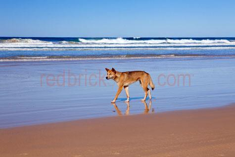 dingo; dingoes; animal; animals; australian animal; australian animals;australian native animal; australian native animals; native animal; native animals; native; natives;native species; australian native species; wild dingo; wild dingoes; wild animal; wild animals; wild; in the wild; dingo in the wild; dingoes in the wild; animal in the wild; animals in the wild; dog; dogs; wild dog; wild dogs;canine; canines; wild canine; wild canines; terrestrial; terrestrial animal; terrestrial animals;terrestrial mammal; terrestrial mammals; mammal; mammals; australian mammal; australian mammals; roam; roams; roaming;hunt; hunts; hunting; hunter; hunters; dingo hunting; dingoes hunting; dingo hunting prey; dingoes hunting prey; danger; dangers; dangerous; dangerous animal; dangerous animals; dingo portrait; dingo portraits; animal portrait; animal portraits;fraser island; queensland; qld; australia; australian; aus;island; islands; tropical island; tropical islands; tropical; tropic; tropics;beach; beaches; australian beach; australian beaches;beach setting; beach settings; australian beach setting; australian beach settings; at beach; at the beach; on beach; on the beach; dingo at beach; dingoes at beach; dingo at the beach; dingoes at the beach; dingo on beach; dingoes on beach; dingo on the beach; dingoes on the beach; maritime; marine; ocean; oceans; ocean water; ocean waters; sea; seas; sea water; sea waters; water; waters;blue water; east coast; australian east coast; australias east coast; east coast of australia;coast; coasts; coastal; coastal living; coastal lifestyle; coastal lifestyles; australian coast; australian coasts; coastline; coastlines; coast line; coast lines; australian coastline; australian coastlines; australian coast line; australian coast lines; shoreline; shorelines; shore line; shore lines; tide; tides; ocean tide; ocean tides; sea tide; sea tides; heritage listed; world heritage; world heritage site; world heritage sites; australian heritage listed;
