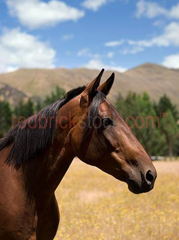 horse; horses; animal; animals; equine; equines; equestrian; equestrian centre; equestrian centres;equine; equine flu; equine influenza; horse flu; horse stud; horse studs; stud; studs; horse stud farm; horse stud farms; stud farm; stud farms;paddock; paddocks; horse paddock; horse paddocks; horse in paddock; horses in paddock; horses in paddocks; horse in a paddock; horses in a paddock; farm paddock; farm paddocks; farming paddock; farming paddocks; field; fields; lush field; lush fields; mane; manes; horse mane; horse manes;horse yard; horse yards; yard; yards;farm animal; farm animals; farm; farms; farming; farming industry;australian farm; australian farms; australian farming; australian farming industry; farmland; farmlands; farm land; farm lands; farming property; farming properties;on farm; on the farm; horse on farm; horses on farm; horse on the farm; horses on the farm; animal on farm; animals on farm; animal on the farm; animals on the farm; at farm;at the farm; horse at farm; horses at farm; horse at the farm; horses at the farm; animal at farm; animals at farm; animal at the farm; animals at the farm; country; countryside; country setting; country settings; australian country; australian countryside; rural; rural area; rural areas; rural setting; rural settings; rural australia;regional; regional australia;livestock; live stock; stock; horse portrait; horse portraits; animal portrait; animal portraits; mammal; mammals; australian mammal; australian mammals;pet; pets; pet horse; pet horses; pet animal; pet animals; mare; mares; mare horse; mare horses;stallion; stallions; stallion horse; stallion horses;gelding; geldings; gelding horse; gelding horses;colt; colts; colt horse; colt horses;filly; fillies; filly horse; filly horses; thoroughbred; thoroughbreds; thoroughbred horse; thoroughbred horses; race horse; race horses; racing horse; racing horses; chestnut; chestnuts; chestnut horse; chestnut horses;brown horse; brown horses; side view; side views; pr