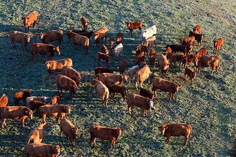 cow; cows; cattle; animal; animals; calf; calves; baby cow; baby cows; baby animal; baby animals; baby; babies; cute; bovine; bovines; bovine industry; livestock; live stock; stock;cattle industry; bovine industry; farming industry; cattle farming industry; graze; grazes; grazing; cow grazing; cows grazing; cattle grazing;eating grass; cow eating grass; cows eating grass; cattle eating grass; pasture; pastures; herd; herds; herding; cattle herd; cattle herds; herding cows; herding cattle; beef cattle; beef industry; food chain; food chains;cattle farmer; cattle farmers; beef cattle farmer; beef cattle farmers; farmer; farmers; farm animal; farm animals; farm; farms; farming; cattle farming;australian farm; australian farms; australian farming; australian farming industry; australian cattle farming; australian cattle farming industry; australian bovine industry; farmland; farmlands; farm land; farm lands; farming property; farming properties;on farm; on the farm; cow on farm; cows on farm; cattle on farm; cow on the farm; cows on the farm; cattle on the farm; animal on farm; animals on farm; animal on the farm; animals on the farm; at farm;at the farm; cow at farm; cows at farm; cattle at farm; cow at the farm; cows at the farm; cattle at the farm; animal at farm; animals at farm; animal at the farm; animals at the farm; paddock; paddocks; cow paddock; cow paddocks; cattle paddock; cattle paddocks; farm paddock; farm paddocks; farming paddock; farming paddocks; cattle yard; cattle yards; yard; yards; cow feed; cow feeding; cattle feed; cattle feeding; feed; feeds; feeding;country; countryside; country setting; country settings; australian country; australian countryside; rural; rural area; rural areas; rural setting; rural settings; rural australia;regional; regional australia;import; imports; importing; livestock import; livestock imports; importing livestock; live stock import; live stock imports; importing live stock; export; exports; exporting; livestock export; 