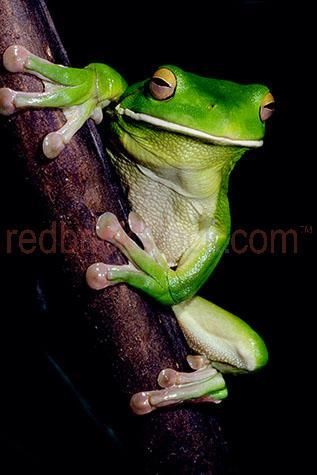 frog; frogs; animal; animals;white lipped tree frog; white lipped tree frogs; white-lipped tree frog; white-lipped tree frogs; tree frog; tree frogs; green tree frog; green tree frogs; green frog; green frogs; litoria infrafrenata; amphibian; amphibians; australian amphibian; australian amphibians; reptile; reptiles; australian reptile; australian reptiles;australian frog; australian frogs; australian animal; australian animals;australian native frog; australian native frogs; australian native animal; australian native animals; native animal; native animals; native; natives;native species; australian native species; fauna; australian fauna; australian native fauna; wild frog; wild frogs; wild animal; wild animals; wild; in the wild; frog in the wild; frogs in the wild; animal in the wild; animals in the wild; webbed feet;feet; foot; macro; macro photography; rainforest; rainforests; rain forest; rain forests; forest; forests; tropical rainforest; tropical rainforests; tropical rain forest; tropical rain forests; tropical forest; tropical forests; tropical; tropic; tropics;branch; branches; tree branch; tree branches; frog on branch; frog on a branch; frog on tree branch; frog on a tree branch; frog portrait; frog portraits; tree frog portrait; tree frog portraits; animal portrait; animal portraits; looking at camera; looking at the camera; eye; eyes; frog eye; frog eyes; animal eye; animal eyes; face; faces; frog face; frog faces; animal face; animal faces; head; heads; frog head; frog heads; animal head; animal heads; wildlife; wild life; australian wildlife; australian wild life; australian native wildlife; australian native wild life; wildlife photography; wild life photography; nature; natural habitat; natural habitats;animal photography; black background; black backgrounds; black back ground; black back grounds; on black; on black background; on black backgrounds; on black back ground; on black back grounds; day; daytime; day time; during the day; in the daytim