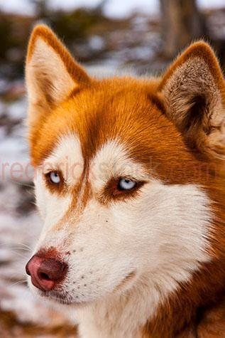 dog; dogs; hound; hounds; canine; canines; animal; animals; husky; huskies; husky dog; husky dogs; sled dog; sled dogs; mountain dog; mountain dogs; work dog; work dogs; working dog; working dogs; pet; pets; pet animal; pet animals; family pet; family pets; family pet animal; family pet animals; pet dog; pet dogs; family pet dog; family pet dogs; domestic dog; domestic dogs;guard dog; guard dogs; white dog; white dogs; orange dog; orange dogs; orange and white dog; orange and white dogs; orange & white dog; orange & white dogs; nose; noses; dog nose; dog noses; scent; smell; smells; smelling; sniff; sniffs; sniffing; mans best friend; lean; lean dog; lean dogs; lean animal; lean animals; purebred; pure bred; purebreds; pure breds; pure-bred; pure-breds; purebreed; pure breed; purebreeds; pure breeds; pure-breed; pure-breeds; purebred dog; purebred dogs; pure bred dog; pure bred dogs; pure-bred dog; pure-bred dogs; purebreed dog; purebreed dogs; pure breed dog; pure breed dogs; pure-breed dog; pure-breed dogs; dog portrait; dog portraits; animal portrait; animal portraits; pet portrait; pet portraits; sled race; sled races; sled racing; dog sled race; dog sled races; dog sled racing; dog race; dog races; dog racing; race; races; racing; sport; sports; animal photography; snow; snows; snowing; ice; icy; icicle; icicles; freeze; freezes; freezing; frozen; freezing cold; cold; winter; winters; winter season; mountain; mountains; mountainous; mountain range; mountain ranges; snowy mountain; snowy mountains; blue eye; blue eyes; dog with blue eyes; eye; eyes; dog eye; dog eyes; animal eye; animal eyes; head; heads; dog head; dog heads; animal head; animal heads; face; faces; dog face; dog faces; animal face; animal faces; ear; ears; dog ear; dog ears; mouth; mouths; dog mouth; dog mouths; day; daytime; day time; during the day; in the daytime; in the day time; daylight; day light; low view; low views; low angle; low angles; from below; looking up; looking up at; dinner pl