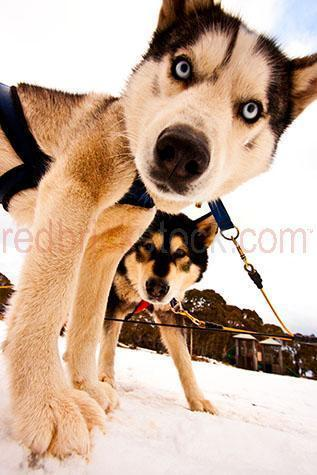 dog; dogs; hound; hounds; canine; canines; animal; animals; husky; huskies; husky dog; husky dogs; sled dog; sled dogs; mountain dog; mountain dogs; work dog; work dogs; working dog; working dogs; pet; pets; pet animal; pet animals; family pet; family pets; family pet animal; family pet animals; pet dog; pet dogs; family pet dog; family pet dogs; domestic dog; domestic dogs;guard dog; guard dogs; white dog; white dogs; black and white dog; black and white dogs; black & white dog; black & white dogs; nose; noses; dog nose; dog noses; scent; smell; smells; smelling; sniff; sniffs; sniffing; mans best friend; lean; lean dog; lean dogs; lean animal; lean animals; dog lead; dog leads; lead; leads; pet lead; pet leads; dog leash; dog leashes; leash; leashes; pet leash; pet leashes;collar; collars; dog collar; dog collars; paw; paws; dog paw; dog paws;energetic; energetic dog; energetic dogs; purebred; pure bred; purebreds; pure breds; pure-bred; pure-breds; purebreed; pure breed; purebreeds; pure breeds; pure-breed; pure-breeds; purebred dog; purebred dogs; pure bred dog; pure bred dogs; pure-bred dog; pure-bred dogs; purebreed dog; purebreed dogs; pure breed dog; pure breed dogs; pure-breed dog; pure-breed dogs; dog portrait; dog portraits; animal portrait; animal portraits; pet portrait; pet portraits; harness; harnesses; sled race; sled races; sled racing; dog sled race; dog sled races; dog sled racing; dog race; dog races; dog racing; race; races; racing; sport; sports; animal photography; snow; snows; snowing; ice; icy; icicle; icicles; freeze; freezes; freezing; frozen; freezing cold; cold; winter; winters; winter season; mountain; mountains; mountainous; mountain range; mountain ranges; snowy mountain; snowy mountains; blue eye; blue eyes; dog with blue eyes; eye; eyes; dog eye; dog eyes; animal eye; animal eyes; head; heads; dog head; dog heads; animal head; animal heads; face; faces; dog face; dog faces; animal face; animal faces; day; daytime; day time; during t