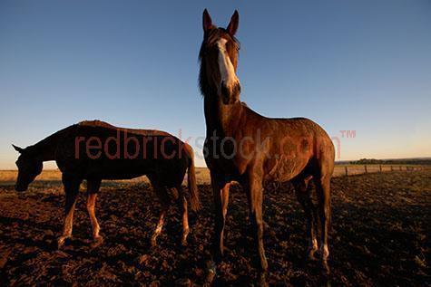 horse; horses; animal; animals; equine; equines; farm animal; farm animals; farm; farms; farming; farming industry;australian farm; australian farms; australian farming; australian farming industry; farmland; farmlands; farm land; farm lands; farming property; farming properties;on farm; on the farm; horse on farm; horses on farm; horse on the farm; horses on the farm; animal on farm; animals on farm; animal on the farm; animals on the farm; at farm;at the farm; horse at farm; horses at farm; horse at the farm; horses at the farm; animal at farm; animals at farm; animal at the farm; animals at the farm; country; country setting; country settings; australian country; rural; rural area; rural areas; rural setting; rural settings; rural australia; regional; regional australia;livestock; live stock; stock; equestrian; horse stud; horse studs; stud; studs; horse stud farm; horse stud farms; stud farm; stud farms;graze; grazes; grazing; horse grazing; horses grazing;pasture; pastures; paddock; paddocks; horse paddock; horse paddocks; horse in paddock; horses in paddock; horses in paddocks; horse in a paddock; horses in a paddock; farm paddock; farm paddocks; farming paddock; farming paddocks; fence; fences; fenced; fenced paddock; fenced paddocks; fenceline; fencelines; fence line; fence lines; mane; manes; horse mane; horse manes; horse pen; horse pens; pen; pens; horse yard; horse yards; yard; yards;stock horse; stock horses; stockhorse; stockhorses;horse portrait; horse portraits; animal portrait; animal portraits; mammal; mammals; australian mammal; australian mammals;pet; pets; pet horse; pet horses; pet animal; pet animals; stallion; stallions; stallion horse; stallion horses;gelding; geldings; gelding horse; gelding horses;colt; colts; colt horse; colt horses;chestnut; chestnuts; chestnut horse; chestnut horses;brown horse; brown horses; australian animal; australian animals;animal photography; agriculture; agricultural; agriculture industry; australian agriculture