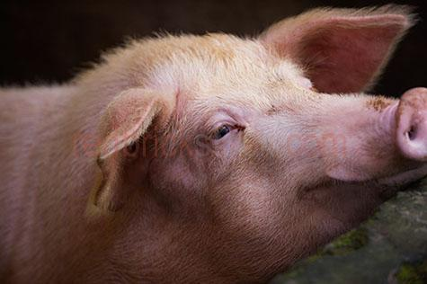 pig; pigs; animal; animals; snout; snouts; pig snout; pig snouts; pigs snout; pigs snouts; nose; noses; pig nose; pig noses; pigs nose; pigs noses;smell; smells; smelling; scent; smelly; pigsty; pigsties; pig sty; pig sties; sty; sties; pigpen; pigpens; pig pen; pig pens; pen; pens; pig in pigsty; pigs in pigsty; pigs in pigsties; pig in pig sty; pigs in pig sty; pigs in pig sties; pig in sty; pigs in sties; pig in pigpen; pigs in pigpen; pigs in pigpens; pig in pig pen; pigs in pig pen; pigs in pig pens; pig in pen; pigs in pen; pigs in pens; pig in a pigsty; pigs in a pigsty; pig in a pig sty; pigs in a pig sty; pig in a sty; pigs in a sty; pig in a pigpen; pigs in a pigpen; pig in a pig pen; pigs in a pig pen; pig in a pen; pigs in a pen; piggy; piggie; piggies;pink pig; pink pigs;pig farming; pig farming industry; farming industry; farm animal; farm animals; farm; farms; farming; on farm; on the farm; pig on farm; pigs on farm; pig on the farm; pigs on the farm; at farm; at the farm; pig at farm; pigs at farm; pig at the farm; pigs at the farm; pig farmer; pig farmers; farmer; farmers; food chain; food chains;livestock; live stock; stock;country; country setting; country settings; rural; rural area; rural areas; rural setting; rural settings;swine; swine flu;dirt; dirts; dirty; dirty pig; dirty pigs; grub; grubs; grubby;grubby pig; grubby pigs; pig portrait; pig portraits; animal portrait; animal portraits; pet; pets; pet animal; pet animals; mammal; mammals; suidae; agriculture; agricultural; agriculture industry; agricultural industry; animal photography; day; daytime; day time; during the day; in the daytime; in the day time; daylight; day light; sow; sows; head; heads; pig head; pig heads; animal head; animal heads; face; faces; pig face; pig faces; animal face; animal faces; ear; ears; pig ear; pig ears; pigs ears; tourist destination; tourist destinations; bali tourist destination; bali tourist destinations; balinese tourist destination; balinese tourist d