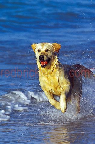 dog; dogs; hound; hounds; canine; canines; animal; animals; golden retriever; golden retrievers; golden retriever dog; golden retriever dogs; labrador; labradors; labrador dog; labrador dogs; guide dog; guide dogs;pet; pets; pet animal; pet animals; family pet; family pets; family pet animal; family pet animals; pet dog; pet dogs; family pet dog; family pet dogs; domestic dog; domestic dogs;guard dog; guard dogs; home security; security;play; plays; playing; playful; dog playing; dogs playing; playful dog; playful dogs; playing at the beach; playing at beach; playing at beaches; dog playing at the beach; dogs playing at the beach; dog playing at beach; dogs playing at beach; dogs playing at beaches; at the beach; at beach; dog at the beach; dogs at the beach; dog at beach; dogs at beach; dogs at beaches; playing on the beach; playing on beach; playing on beaches; dog playing on the beach; dogs playing on the beach; dog playing on beach; dogs playing on beach; dogs playing on beaches; on the beach; on beach; dog on the beach; dogs on the beach; dog on beach; dogs on beach; dogs on beaches; dog beach; dog beaches; pet beach; pet beaches; dog friendly beach; dog friendly beaches; pet friendly beach; pet friendly beaches; ocean; oceans; ocean water; ocean waters; sea; seas; sea water; sea waters; water; waters; blue water; waters surface; aquatic; beach; beaches; australian beach; australian beaches; beach setting; beach settings; australian beach setting; australian beach settings; mans best friend; dog friendly; pet friendly;run; runs; running; running  dog running; dogs running; running at the beach; running at beach; dog running at the beach; dogs running at the beach; dog running at beach; dogs running at beach; running on the beach; running on beach; dog running on the beach; dogs running on the beach; dog running on beach; dogs running on beach; lean; lean dog; lean dogs; lean animal; lean animals; tongue; tongues; dog tongue; dog tongues; tongue out; tongues out